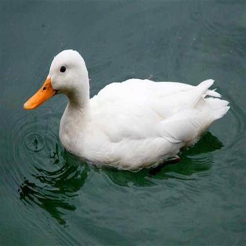 全年大批量供应优质白鸭冷鲜鸭全国发货