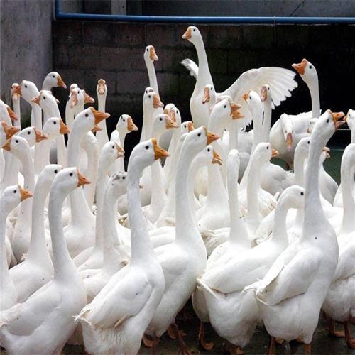 白鹅价格各种鹅苗刚出壳小鹅苗视频选购活体