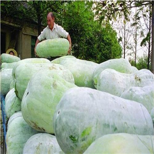 蔬菜种子大粉皮冬瓜冬瓜种子白皮冬瓜